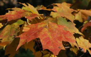 Autumn foliage close up.